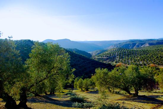 Actualité L'Huilerie Emile Noël redevient producteur d'huile d'olive !