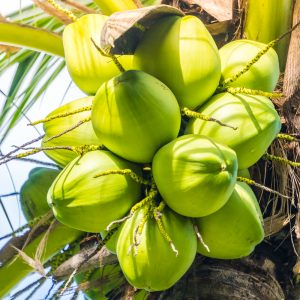 Noix de Coco Groupe Emile Biopartenaire